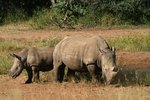 Where Do Rhinos Sleep?