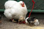 How Do Hens Reproduce?