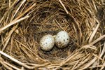 How to Care for a Fallen Bird's Nest With Live Eggs in Your Home