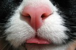 A Dry Flaky Nose in a Cat