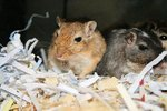 What Bedding Should You Put in a Gerbil's Cage?