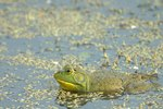 How to Care for Pet Bullfrogs