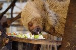 How Do Sloths Find Their Mates?