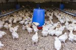 Tips on Feeding Broilers