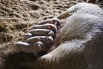 Pregnancy in a Potbellied Pig