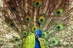 What Is the Behavior of a Peacock?
