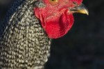 How to Tell a Barred Rock Rooster From a Barred Rock Hen