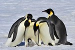 Physical Adaptations by King Penguins