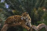 What Do Jaguars Do All Day?