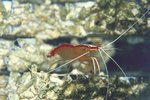 How to Grow Ghost Shrimp for Fish Food