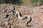 Snakes in the Texas Hill Country