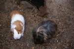 Guinea Pig Feces & Diseases