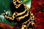 How Do Poison Dart Frogs Attack Their Prey?