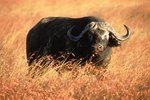 What Kinds of Buffaloes Are There?