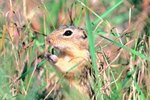 Where Does a Ground Squirrel Go for Shelter?