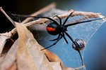What Happens to Black Widow Spiders During the Winter?