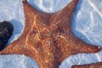 Facts on the Red-Knobbed Starfish