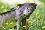 List of Herbs for Iguanas
