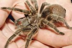 Catching an Escaped Tarantula