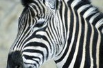 What Do Zebras Do When It's Hot?