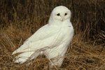 How Are Male & Female Snowy Owls Different?