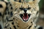 Can a Serval Be Kept as a Pet?