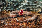 Difference Between Copperhead & Water Moccasin