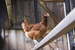 How to Get Rid of Nits on Chickens