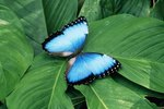 What Type of Shelter Does a Morpho Butterfly Need?