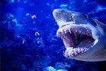 Can Sharks Regrow Teeth?