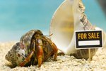 How to Tell if a Hermit Crab Is Molting