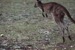 What Bones Power a Kangaroo's Jumping?
