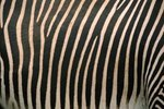 What Contributed to the Mountain Zebra's Endangered Status?