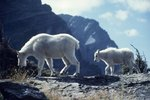 What Are Some Endangered Species in the Alpine Tundra?