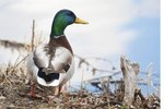 How to Build Nest Boxes for a Mallard Duck