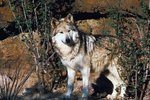 Why Is the Mexican Wolf Endangered?