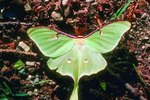 Difference Between Male & Female Luna Moths