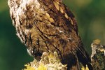 Owl Species of Alabama