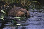 What Do Beavers Feed Their Kids?