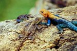 The Habitat of the Agama Lizard