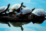 Facts on Red-Eared Sliders Living Together