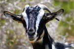 Should You Separate Male Goats From Pregnant Goats?