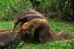 Kinds of Anteaters