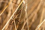 What Predators Eat the Walking Stick Insect?
