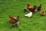 Natural Wormers for Chickens