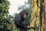 Physical Differences of Male & Female Chimps