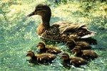 How to Get a Female Duck to Foster Ducklings