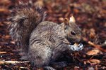 What Kinds of Nuts Do Squirrels Eat?