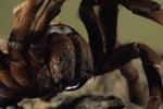 Goliath Tarantula Care Sheet