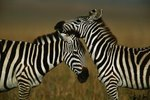 What Places in Africa Do Zebras Live?